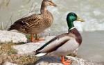 В Воронеж вернулись кряквы и озёрные чайки