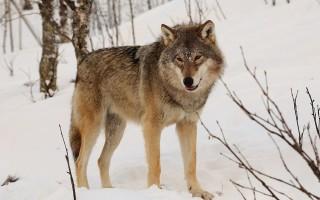 На окраине Воронежа жители заметили волка