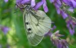 В Воронеж прилетели редкие бабочки