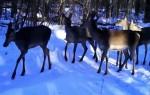 В фотоловушку Воронежского заповедника «попалось» стадо лосей