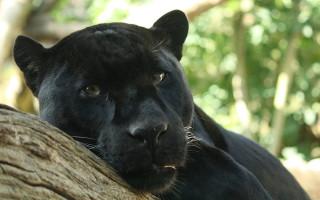 В Воронеже выступят леопарды, черные пантеры и тигры
