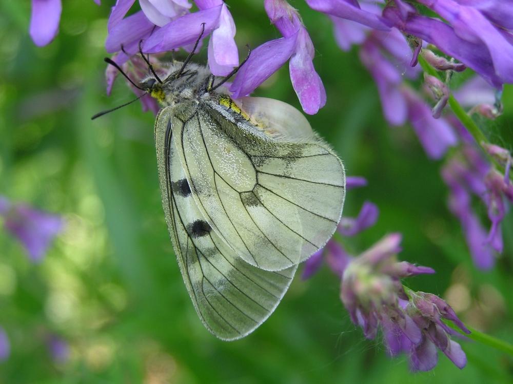 Бабочки мнемозины в Воронеже