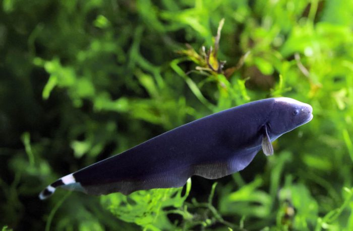 Knife-Fish