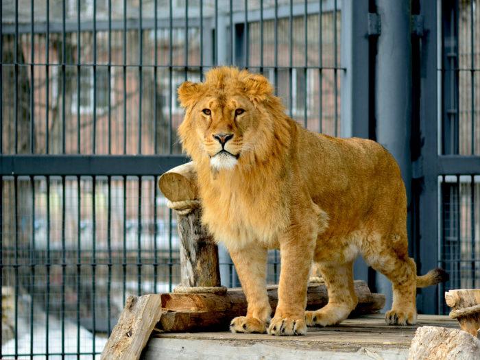 Лев в Воронежском зоопарке