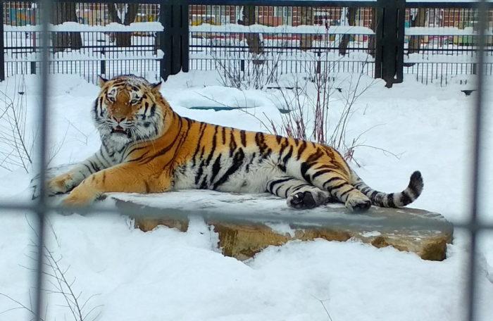 Амурский тигр в Воронежском зоопарке