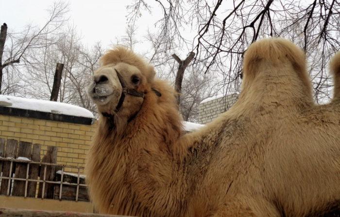 Верблюд в Воронежском зоопарке
