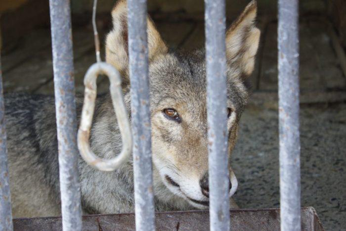 Волк в Воронежском зоопарке
