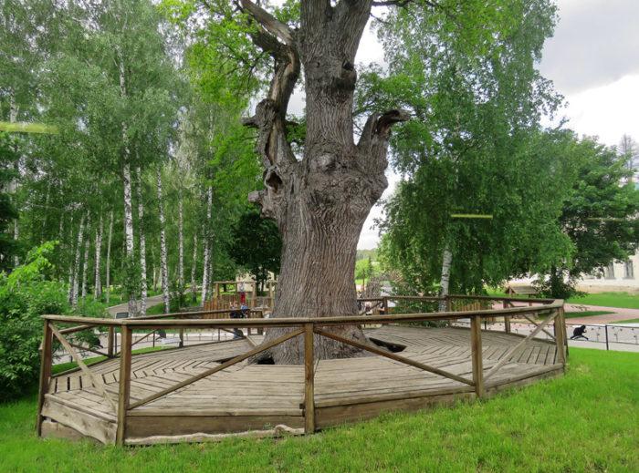 Дуб 400 лет. Фото: Илья Буяновский