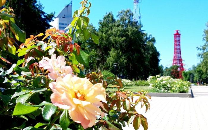 Розы Воронежские